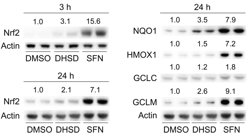 Effect of 2,3-dehydrosilydianin (DHSD) on the levels of Nrf2 and Nrf2-regulated proteins in Hepa1c1c7 cells. Cells were treated for 3 or 24 h (as indicated) with 0.1% DMSO (control), 5 μM sulforaphane (SFN; positive control) or 50 μM DHSD. After treatment, the protein levels of Nrf2, NQO1, HMOX1, GCLC, GCLM, and actin in the whole cell lysates (30 μg/lane) were analyzed in duplicate by Western blotting. Representative Western blots are shown. Relative band intensities were determined densitometrically and normalized to actin. Data expressed as folds of control are means of three experiments.