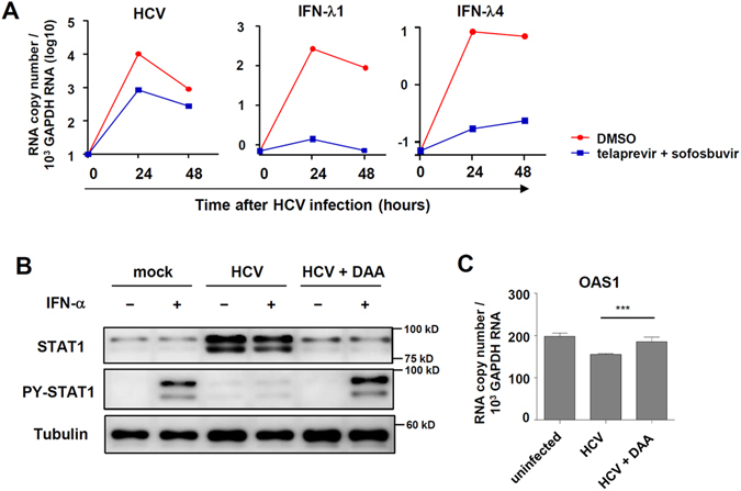 HCV infection results in IFN-λ4 expression and IFN-α unresponsiveness that is restored by DAA treatment. ( A ) PHHs were infected with JFH1 HCVcc at 2 MOI. Shortly after HCV infection, telaprevir (5 μM) plus sofosbuvir (5 μM) were added to HCV-infected cells. After 24 or 48 hours, the cells were harvested, and gene expression was analysed by real-time qPCR. ( B ) PHHs with the IFNL4 ΔG/ΔG genotype were infected with JFH1 HCVcc at 2 MOI. Six hours after HCV infection, the culture medium was changed to the medium containing telaprevir (5 μM) and sofosbuvir (5 μM). After 120 hours, the cells were treated with 100 IU/ml of IFN-α for 30 minutes ( B ) or 6 hours ( C ). The cells were harvested, and gene and protein expression were analysed by immunoblotting ( B ) or real-time qPCR ( C ). Data are presented as means ± S.E.M. *** P ≤ 0.001 (Student's t-test). DAA: direct-acting antivirals. All the data are representative of two independent experiments. Full-length blots of PY-STAT1 ( B ) with multiple exposure times are included in the Supplementary Fig. 9B . The data are representative of three independent experiments.