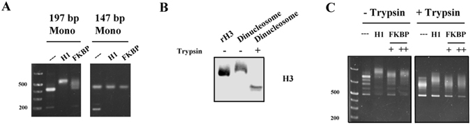 Fpr4 FKBP-nucleosome interaction requires linker DNA and histone tails. ( A ) Linker DNA is required for FKBP interaction with mononucleosomes. Nucleosomes assembled with 197 bp and 147 bp Widom 601 nucleosome positioning sequence DNA were incubated with no protein, histone H1 or the Fpr4 FKBP domain and subjected to EMSA as described in the Methods. ( B ) Anti-H3 Western blot analysis of trypsinized dinucleosomes. Recombinant human histone H3 was used as a positive control. Full-length images of this cropped blot are available in the Supplementary Information File. ( C ) FKBP interaction with nucleosomes is influenced by histone tails. Recombinant histone H1 or two concentrations of Fpr4 FKBP were mixed with intact or trypsinized dinucleosomes and visualized by agarose gel electrophoresis with ethidium bromide staining.