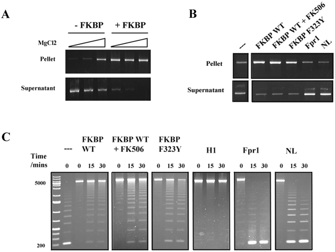 Fpr4 FKBP condenses <t>nucleosome</t> arrays. ( A ) The Fpr4 FKBP sensitizes nucleosome arrays to magnesium-dependent self-association. Recombinant Fpr4 FKBP was mixed with 25 mer nucleosome array in the presence of 0.25 mM, 0.5 mM and 1 mM MgCl 2 and centrifuged. Nucleosome arrays in the supernatant and pellet fraction were visualized by agarose gel electrophoresis with ethidium bromide staining. The supernatant and pellet fractions contain extended and condensed arrays, respectively. Full-length images of this cropped gel are available in the Supplementary Information File. ( B ) Chromatin fibre self-association is unique for Fpr4 but does not require peptidyl-prolyl isomerase activity. Recombinant Fpr4 FKBP, FK506-treated Fpr4 FKBP, Fpr4 FKBP F323Y, Fpr1 and Fpr4 NL were mixed with nucleosome arrays in the presence of 0.5 mM MgCl 2 and subjected to centrifugation to separate condensed and open fibres. Full-length images of this cropped gel are available in the Supplementary Information File. ( C ) The Fpr4 FKBP occupies linker regions in nucleosome arrays. Recombinant Fpr4 FKBP, FK506-treated Fpr4 FKBP, Fpr4 FKBP F323Y, Fpr1 and Fpr4 NL were mixed with 25 mer nucleosome array, and arrays digested with AvaI restriction enzyme for 15 and 30 minutes. DNA was purified and subjected to agarose gel electrophoresis and ethidium bromide staining. DNA from arrays with fully protected AvaI sites migrates at 5000 bp while digested arrays liberate fragments in 197 bp increments.