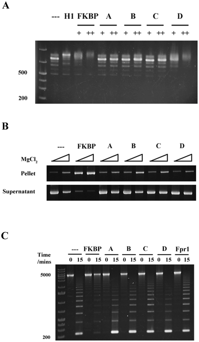 The basic patches of the Fpr4 FKBP are required for chromatin interaction. ( A ) Basic patches are required for FKBP binding to dinucleosomes. Dinucleosomes were mixed with increasing concentrations of histone H1, Fpr4 FKBP, or basic patch mutants A-D proteins and subjected to EMSAs as in Figs 1 and 2 . ( B ) Basic patches are required for FKBP promotion of magnesium-dependent chromatin fibre self-association. Recombinant Fpr4 FKBP or basic patch mutants were mixed with 25mer nucleosome array in the presence of 0.25 and 0.5 mM MgCl 2 and centrifuged. Chromatin in the supernatant and pellet fraction were visualized by agarose gel electrophoresis with ethidium bromide staining. Full-length images of this cropped gel are available in the Supplementary Information File. ( C ) Basic surface patches are required for linker region interaction. Recombinant Fpr1, Fpr4 FKBP, or basic patch mutants were mixed with 25 mer nucleosome array, and arrays digested with AvaI restriction enzyme for 0 or 15 minutes. DNA was purified and subjected to agarose gel electrophoresis and ethidium bromide staining.