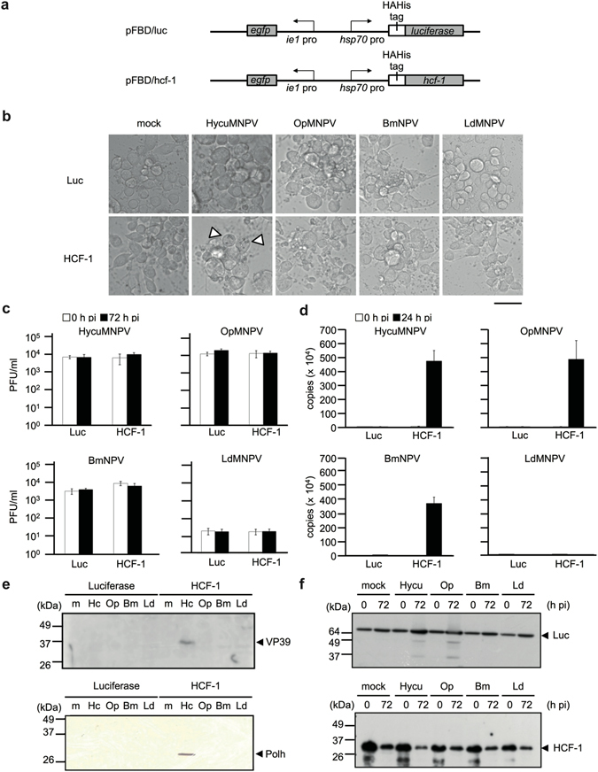 Transiently expressed HCF-1 protein promotes the synthesis of NPV DNA and proteins in non-permissive Tn368 cells. Tn368 cells were transfected with 2 μg of pFBD/luc (Luc) or pFBD/hcf-1 (HCF-1) DNA, which express luciferase or HCF-1 protein, respectively, under control of the heat shock protein 70 promoter ( hsp70 pro). At 24 h post-transfection, the transfected cells were heat-shocked at 42 °C for 30 min, incubated for 6 h at 28 °C, and were then infected with HycuMNPV (Hycu), OpMNPV (Op), BmNPV (Bm) and LdMNPV (Ld) at MOIs of 10, 50, 10 and 3, respectively. ( a ) Schematic representation of the plasmids pFBD/luc and pFBD/hcf-1 used in these experiments. ( b ) Microscopic images of Tn368 cells at 72 h post-infection. The arrowheads indicate polyhedra-containing cells. Scale bar, 50 μm. ( c ) BV yields in virus-infected Tn368 cells at 72 h post-infection (pi). BV titers were determined by a plaque assay using SpIm cells for HycuMNPV, BM-N cells for BmNPV and Ld652Y cells for OpMNPV and LdMNPV. The vertical bars represent the standard deviations of the averages from three determinations. ( d ) Viral DNA production at 24 h post-infection. Viral DNA was quantified by qPCR. The vertical bars represent the standard deviations of the averages from three determinations. ( e ) Immunoblot analysis of VP39 and polyhedrin (Polh) proteins at 72 h post-infection. Polypeptides from infected Tn368 cells were resolved on 12% SDS-polyacrylamide gels and transferred onto Immobilon-P (for VP39 protein) or nitrocellulose membranes (for polyhedrin). VP39 protein was probed using anti-BmNPV/AcMNPV VP39 polyclonal antibody and visualized with <t>ECL</t> Select Western Blotting Detection Reagent. Polyhedrin protein was probed with anti-BmNPV polyhedrin polyclonal antibody and visualized using a <t>HRP</t> Conjugate Substrate Kit. ( f ) Immunoblot analysis of luciferase and HCF-1 proteins in infected Tn368 cells. Luciferase and HCF-1 proteins were probed by anti-HA monoclonal antibody and vi