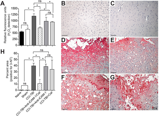 CCI-TBI results in increased hydrogen peroxide production and 3-nitrotyrosine detection in the ipsilateral cortex area of impact. ( A ) OxiSelect™ Hydrogen Peroxide/Peroxidase Assay Kit was used to measure hydrogen peroxide levels in fresh mouse cortical tissue ipsilateral to the area of impact 4 hrs following CCI-TBI, CCI-TBI+anti-ICAM-1/catalase, catalase only, and antibody only administration or from naive and sham controls. The naive condition provides basal hydrogen peroxide levels in uninjured cortical tissue which are not significantly different from sham. CCI-TBI results in a nearly 3-fold increase in hydrogen peroxide level detection. Anti-ICAM-1/catalase quenches hydrogen peroxide levels in the area of injury to physiological levels comparable to that of naive and sham, an effect not achieved with anti-ICAM-1 antibody and catalase alone. Immunohistochemical chomogen staining of 3-NT demonstrates increased tyrosine nitration following CCI-TBI ( D ) compared to naive and sham controls ( B and C , respectively). Anti-ICAM-1/catalase significantly decreased 3-NT detection ( E ). 3-NT levels in anti-ICAM-1 antibody and catalase only groups did not significantly differ from CCI-TBI alone ( F and G , respectively). Positive signal detection was pseudo-colored red for better visualization. All images taken at 20X. Scale bar equals 50 microns. ( H ) Quantification of 3-NT signal detection was analyzed by percent area and normalized to total tissue area per image. Data are presented as mean ± SD. (Ordinary one-way ANOVA with multiple comparisons for hydrogen peroxide data F = 25.95, P