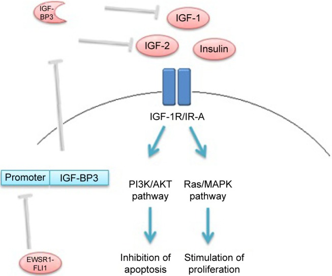 Schematic overview of the effect of EWSR1-FLI1oncoprotein on IGF-1 pathway in Ewing sarcoma cells. Note: EWSR1-FLI1 binds the promoter region of IGF-BP3, which inhibits transcription. Abbreviations: EWSR1-FLI1, Ewing sarcoma breakpoint region 1-Friend leukemia virus integration 1; IGF-1, insulin-like growth factor 1; IGF-BP3, insulin-like growth factor-binding protein 3; IGF-2, insulin-like growth factor 2; IGF-1R, insulin-like growth factor 1 receptor; IR-A, insulin receptor isoform A; PI3K, phosphatidylinositol- 3-kinase; AKT, protein kinase B; MAPK, mitogen-activated protein kinase.