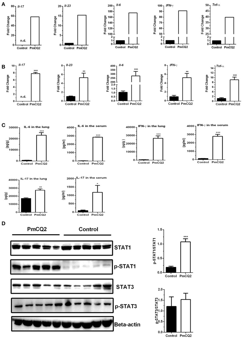 Up-regulation of genes related to Ifn- γ /Il-17 at 16 hpi. (A) The high expression of Ifn- γ and Il-17 after P. multocida infection by <t>Illumina</t> sequencing ( n = 3). The fold change indicated the ratio of the experimental group basemean (sample-WA average expression level) to the control group basemean (sample-WC average expression level) by Illumina sequencing. (B) The high expression of Ifn- γ and Il-17 after P. multocida infection by qRT-PCR ( n = 6, unpaired, two-tailed Student's t -test). (C) The levels of IFN-γ and IL-17 in the lungs or serum using ELISA analysis ( n = 6, unpaired, two-tailed Student's t -test). (D) The abundance of p-STAT1 Y701 and p-STAT3 Y705 in the murine lungs by immunoblotting analysis ( n = 5, unpaired, two-tailed Student's t -test). All data were expressed as means ±SEM. Because Il17 was not detected in control mice, the fold changes of Il17 in treatment mice were showed via presuming expression quantity = 1 of control mice in <t>RNA-Seq</t> (A) and Ct = 30 in qRT-PCR (B) , respectively. * P