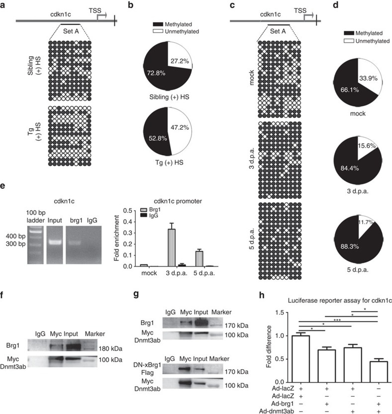 Brg1 represses cdkn1c expression by increasing the level of DNA methylation in its promoter region. ( a ) Methylation patterns of 10 individual CpG sites in the cdkn1c promoter of Tg( hsp70 :dn-xBrg1) and wild-type sibling hearts after daily heat shock from 5 to 14 d.p.a. Upper panel, schematic of 10 CpG island sites (set A) of the cdkn1c promoter region and transcription start site (TSS); lower panels, cdkn1c methylation patterns of wild-type sibling (sibling) and dn-xBrg1 transgenic (tg) hearts, with open circles for 'unmethylated' and filled circles for 'methylated' CpG islands. Methylated DNA sequences were obtained by bisulfite sequencing. Note decreased methylation of ckkn1c promoter in dn-xBrg1 transgenic hearts ( b ). ( c ) cdkn1c promoter methylation of 10 individual CpG sites (set A) of mock, 3 d.p.a. and 5 d.p.a. wild-type hearts. The percentages of unmethylated (white) and methylated (black) DNA from a and b are shown in b and d . ( e ) Left panel, ChIP assays with anti-Brg1 antibody. Right panel, quantitation of Brg1 immunoprecipitated cdkn1c promoter in wild-type mock, 3 d.p.a. and 5 d.p.a. hearts. Data are presented as Brg1 enrichment relative to control IgG. The 335 bp DNA fragment within the cdkn1c promoter region (−1,625 to −1,290 bp) was amplified from immunoprecipitated DNA of mock, 3 d.p.a. and 5 d.p.a. hearts by anti-Brg1 antibody or control IgG. ( f ) Immunoprecipitation by anti-Myc antibody in 293T cells over-expressing Brg1 and Myc-tagged Dnmt3ab. ( g ) Upper panel, immunoprecipitation of Brg1 and Myc-Dnmt3ab by Myc antibody or control IgG antibody in H9C2 cells over-expressing Brg1 and Myc-tagged Dnmt3ab. Lower panel, immunoprecipitation of dn-xBrg1-Flag and Myc-Dnmt3ab by Myc antibody or IgG antibody in H9C2 cells over-expressing dn-xBrg1-Flag and Myc-Dnmt3ab. ( h ) Luciferase reporter assays showed that over-expression of zebrafish brg1 and dnmt3ab synergistically suppressed the transcription of cdkn1c in 293T cells. 293T cells were trans