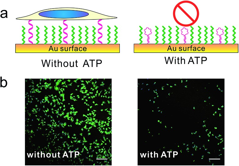 The (a) scheme and (b) fluorescence microscopy images of control cell adhesion through ATP. MCF-7 cell was seeded on DNA SAMs either in the presence or absence of ATP overnight. Cells were fixed and nuclei (blue) and actin (green) were labelled with Hoechst 33258 and phalloidin–TRITC. Scale bars: 200 μm. We constructed this ATP-responsive DNA SAM by grafting ATP's aptamer on gold substrate. Without ATP, the aptamer adopted unfolded state and tended to stay upright due to strong lateral electrostatic repulsion, which has high cell adhesion property. With ATP, the conformational change of aptamer forced it to adopt a folded structure, which was unfavorable for cell adhesion.