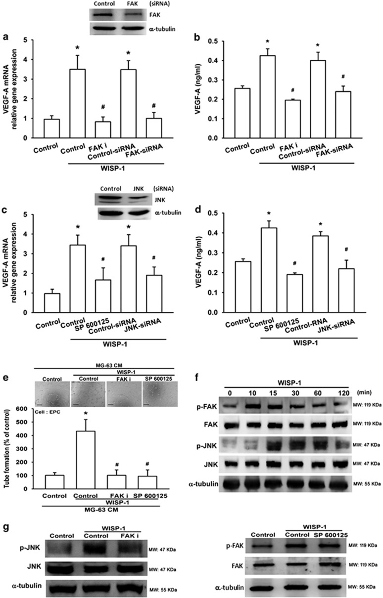 FAK and JNK signaling pathways are involved in WISP-1-induced VEGF-A expression and angiogenesis. ( a and b ) MG-63 cells were pretreated with a FAK inhibitor (FAK i; 10 μ M) for 30 min or a FAK siRNA for 24 h, before treatment with WISP-1 (30 ng/ml) for 24 h. mRNA was quantified using RT-qPCR and VEGF-A protein expression was assayed by enzyme-linked immunosorbent assay (ELISA). Untreated cells were used as the control. ( c and d ) MG-63 cells were pretreated with a JNK inhibitor (SP600125; 10 μ M) for 30 min or a JNK siRNA for 24 h, before treatment with WISP-1 (30 ng/ml) for 24 h. mRNA was quantified using RT-qPCR and VEGF-A protein expression was assayed by ELISA. Untreated cells were used as the control. ( e ) MG-63 cells were pretreated with a FAK i or SP600125 for 30 min, then treated with WISP-1 (30 ng/ml) for 24 h. Culture medium was collected as CM and then applied to EPCs for 24 h. EPC capillary-like structure formation was examined by tube formation (bar=100 μ m). CM collected from untreated cells was used as the control. ( f ) MG-63 cells were incubated with WISP-1 (30 ng/ml) for the indicated times; FAK and JNK phosphorylation was detected by western blot (MW, molecular weight). ( g ) Cells were pretreated for 30 min with FAK i or SP600125, followed by stimulation with WISP-1 (30 ng/ml). p-FAK and p-JNK expression were detected by western blot. Each experiment was performed in triplicate ( N =3). Results are expressed as the mean±S.E.M. * P