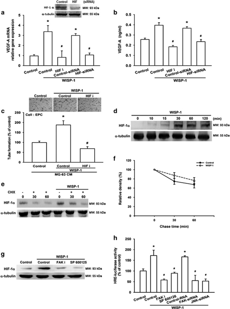 Involvement of HIF-1 α in WISP-1-induced VEGF-A expression and angiogenesis ( a and b ) MG-63 cells were pretreated with an HIF-1 inhibitor (HIF i; 10 μ M) for 30 min or HIF-1 α siRNA for 24 h, then treated with WISP-1 (30 ng/ml) for 24 h. mRNA and VEGF-A protein expression was detected by RT-qPCR and ELISA. Untreated cells were used as the control. ( c ) MG-63 cells were pretreated with an HIF i (10 μ M) for 30 min and then treated with WISP-1 (30 ng/ml) for 24 h. Culture medium was collected as CM and then applied to EPCs for 24 h. EPC capillary-like structure formation was examined by tube formation (bar=100 μ m). CM collected from untreated cells was used as the control. ( d ) MG-63 cells were incubated with WISP-1 (30 ng/ml) for the indicated times and HIF-1 α expression was detected by western blot (MW: molecular weight). ( e ) MG-63 cells were treated with WISP-1 (30 ng/ml) for 8 h, then incubated for 0–60 min with CHX 5 μ M. HIF-1 α protein expression was detected by western blot (MW: molecular weight) and the quantification results are shown in ( f ). ( g ) MG-63 cells were pretreated with HIF i or SP600125 for 30 min, then treated with WISP-1 (30 ng/ml) for 24 h. HIF-1 α protein expression was detected by western blot (MW, molecular weight). Untreated cells were used as the control. ( h ) MG-63 cells were pretreated with HIF i and SP600125 for 30 min or pre-transfected with FAK and JNK siRNA before exposure to WISP-1. HRE-luciferase activity was measured, and the results were normalized to β -galactosidase activity. Untreated cells were used as the control. Each experiment was performed in triplicate ( N =3). Results are expressed as the mean±S.E.M. * P