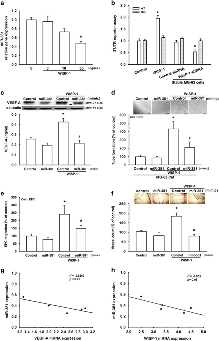 WISP-1 promotes VEGF-A expression and angiogenesis by down-regulating miR-381 expression. ( a ) MG-63 cells were treated with WISP-1 (30 ng/ml) for 24 h, and miR-381 expression was detected by RT-qPCR. Cells treated with 0 mg/ml of WISP-1 were used as the control. ( b ) MG-63 cells (normal and stable) were transfected with 3′UTR reporter assay plasmids for 24 h, then the normal cells were incubated with WISP-1 (30 ng/ml) for 24 h. The relative luciferase activity was measured. Normal cells that were not treated with WISP-1 and the stable control-shRNA cells served as the controls. ( c ) MG-63 cells were transfected with miR-381 mimic for 24 h, then incubated with WISP-1 (30 ng/ml) and VEGF-A expression was detected by western blot (MW, molecular weight) and ELISA. Cells transfected with control miRNA were used as the control. ( d and e ) MG-63 cells were transfected with miR-381 mimic for 24 h, then incubated with WISP-1 (30 ng/ml). Culture medium was collected as CM and then applied to the EPCs for 24 h. Capillary-like structure formation and migration in the EPCs was examined by tube formation (bar=100 μ m) and the Transwell migration assay, respectively. CM collected from cells transfected with control miRNA was used as the control. ( f ) Cells were transfected with miR-381 mimic for 24 h, then incubated with WISP-1 (30 ng/ml). Culture medium was collected as CM. Chick embryos were incubated with CM for 4 days, then photographed with a stereomicroscope (bar=1 mm) and quantified by vessel count. CM collected from cells that were transfected with control miRNA were used as the control. ( g and h ) mRNA expression of WISP-1, VEGF-A, and miR-381 in human osteosarcoma tumor samples was examined by RT-qPCR to determine the correlation between miR-381/VEGF-A and miR-381/WISP-1. Each experiment was performed in triplicate ( N =3). Results are expressed as the mean±S.E.M. * P