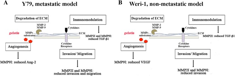 Working model of the roles of MMP-2 and MMP-9 in retinoblastoma cells. Y79 and Weri-1 cells represent the metastatic and the non-metastatic model for Rb, respectively. Our work shows differences in viability, migration and angiogenic-associated responses in Rb cells after inhibition of MMP-2 and MMP-9. a Y79 cells showed a profound defect in migration and invasion along with and a significant reduction in <t>Angiopoietin-2</t> and TGF-β1 proteins. These results highlight Y79's migratory and invasive potential, which may be dependent upon MMPs. b Analyses of Weri-1 cells show MMP-2 and MMP-9 are involved in multiple processes, including viability of cells and VEGF, as well as TGF-β1 production