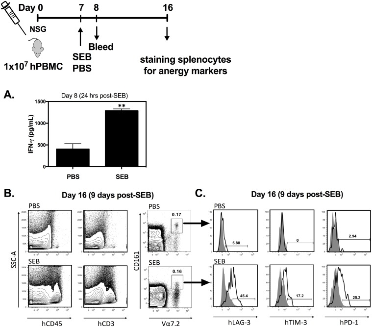 Staphylococcal enterotoxin B (SEB) induces rapid expression of LAG-3, TIM-3 and PD-1 by human mucosa-associated invariant T (MAIT) cells in vivo. Human peripheral blood mononuclear cell—reconstituted NOD- scid  IL-2Rγ null  (hPBMC-NSG) mice ( n  = 3/group) were injected with PBS or 100 μg SEB. Twenty-four hours later, human interferon (IFN)-γ was measured in the serum by ELISA. Error bars represent SEM, and ** denotes  p