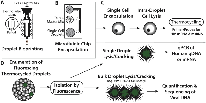 "Schema of the single cell encapsulation, lysis, HIV-1 detection, and rescue of cellular genomic DNA and mRNA. Cells are encapsulated in a master mix including PCR enzymes, primers, probes, and cell lysis agents (Supplementary Table 1) into oil by either brioprinting or microfluidic chip encapsulation (A, B) as described in the methods. Up to 20,000 droplets are then added to each well of a 96 well PCR plate. Cells are lysed within isolated droplet microenvironenments followed by PCR amplification of Tat-Rev spliced or unspliced cell-associated HIV-1 RNA (C). Cells are contained in the hydrophilic droplets which are stabilized by the oil-droplet interface. Droplets containing infected cells can be enumerated using an oil-based commercial flow cytometer or by direct visualization followed by microfluidic sorting of positive droplets (D). HIV-1 RNA positive or negative cells can be isolated using ultrafine needle aspiration, placed into individual microwell tubes or plate wells followed by droplet ""cracking"" ( i.e. lysing droplets to release nucleic acids) and further characterized. In this study, human or viral genomic DNA and human mRNA from droplets containing a single encapsulated cell or from bulk droplets containing HIV-1 RNA positive cells were quantified or sequenced."