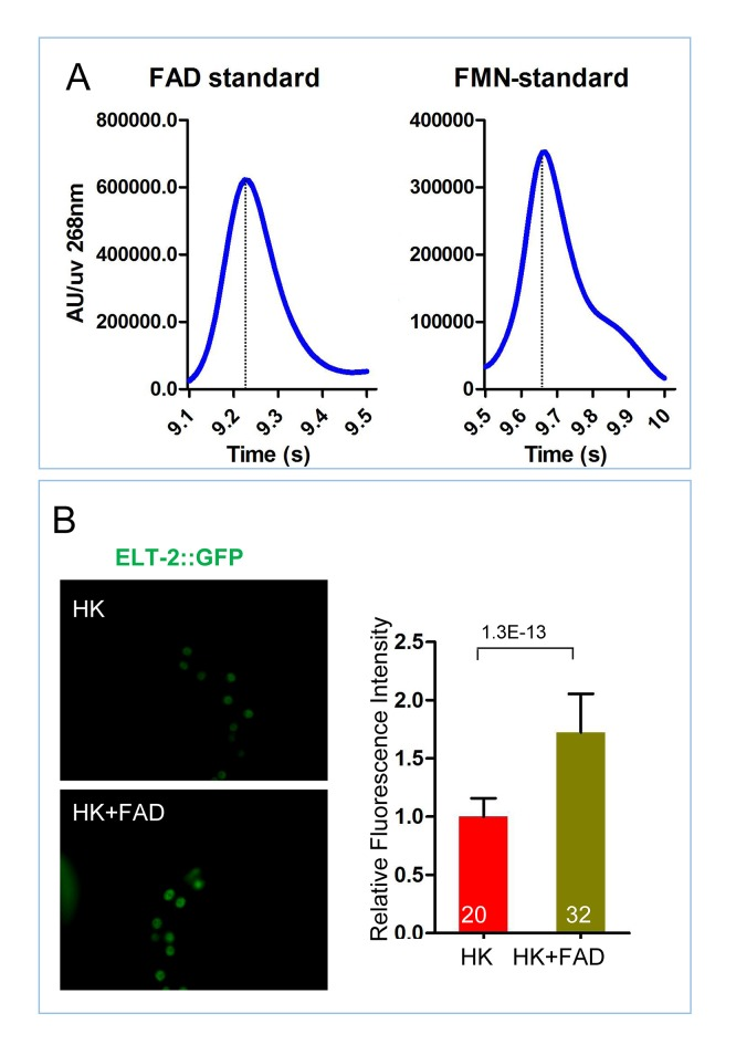 Measurement of FAD and FMN standards and role of FAD supplementation on ELT-2 expression. ( A ) HPLC-UV detection peak of FAD and FMN standards, controls for Figure 5B . ( B ) Fluorescence images and bar graph showing that FAD supplementation increases the expression of an ELT-2::GFP reporter in worms fed HK-OP50. Data are represented as mean ±SD. DOI: http://dx.doi.org/10.7554/eLife.26243.020