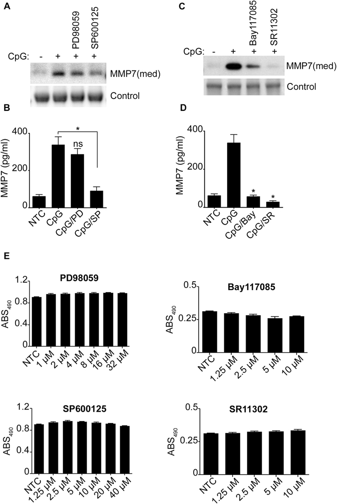 JNK and the transcriptions factors AP-1 and NF-κB participate in the regulation of MMP7 of CpG-Activated B-lymphocytes. MMP-7 was detected by immunoblotting ( A , C ) or by ELISA ( B , D ) in the cell supernatant (med) of unstimulated or CpG-stimulated cells. Cells were pretreated for one hour with the MAPK inhibitors, 30 μM PD98059 and 20 μM SP600125; or the transcription factor inhibitors, 10 μM Bay 117085 and 10 μM SR11302. ( D ) Cells were treated with different concentrations of the inhibitors as indicated. XTT was measured after 24 hours. Data are representative of at least three independent experiments. * p