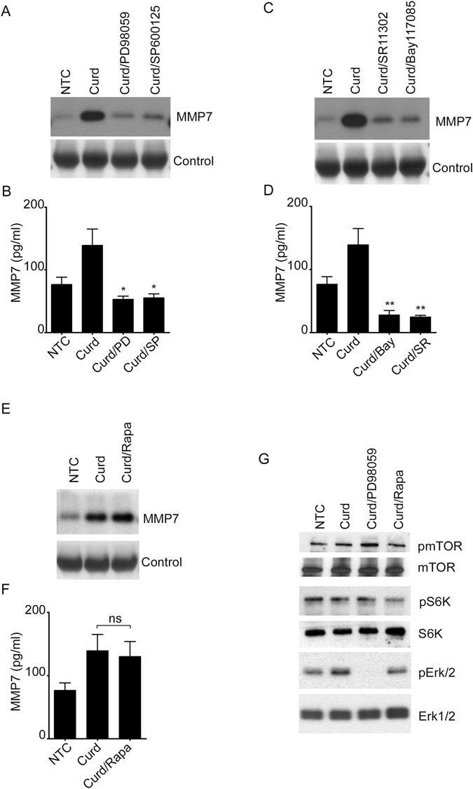 Curdlan induces MMP7 in an mTOR-independent manner. MMP-7 secretion was measured by immunoblotting ( A , C , E ) or ELISA ( B , D , F ) in the cell supernatant of unstimulated or Curdlan-stimulated cells. Cells were pre-incubated with 30 μM PD98059, 20 μM SP600125, 10 μM SR11302, 10 μM Bay 11-7085 and (100 nM) Rapamycin prior to Curdlan stimulation as indicated. ( G ) Phosphorylation of mTOR, S6K and ERK were detected by immunoblotting in the cell lysate of Curdlan-stimulated cells in the presence of 30 μM PD98059 and (100 nM) Rapamycin. Total mTOR, S6K and ERK were used as controls. Data are representative of at least three independent experiments. * p