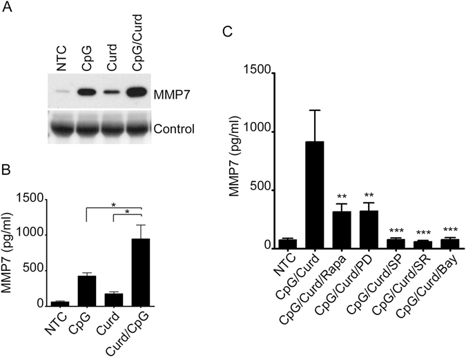 CpG and Curdlan have synergistic effect on MMP-7. MMP-7 was detected by Immunoblotting ( A ) or ELISA ( B , C ) in the supernatant of B-lymphocytes after stimulation with CpG, Curdlan and the combination of CpG and Curdlan overnight. Cells were pre-incubated with 30 μM PD98059 and the 20 μM SP600125, 10 μM SR11302, 10 μM Bay 117085 and (100 nM) Rapamycin prior to Curdlan stimulation as indicated. Data are representative of at least three independent experiments. * p
