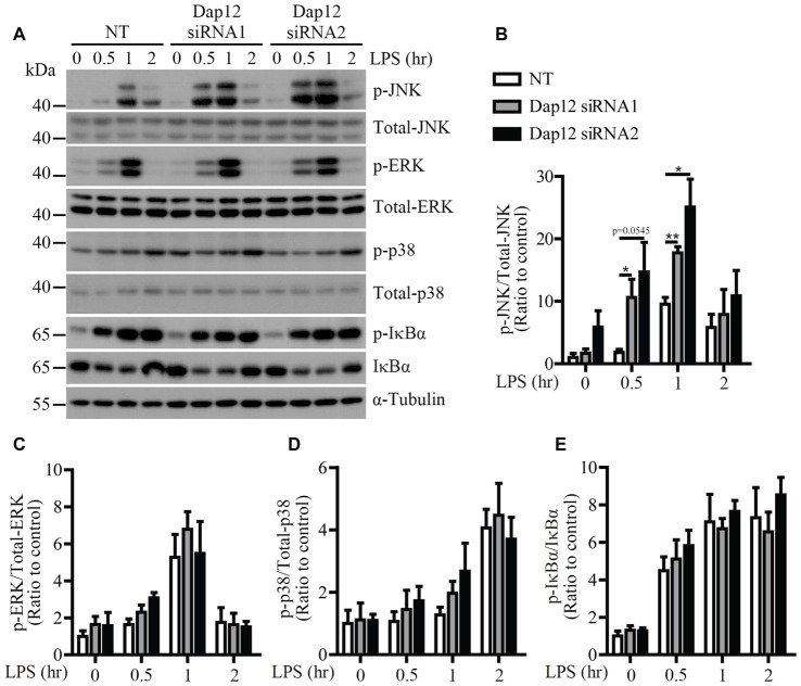 """LPS-induced JNK phosphorylation is increased in Dap12 -knockdown BV2 cells. (A) BV2 cells were transiently transfected with NT or Dap12 -specific siRNAs for 48 h, then stimulated with 500 ng/mL LPS for the indicated times. (B–E) Bar graphs show the quantification of Western blots as ratios of phospho-JNK/total JNK (B) phospho-ERK1/2/total ERK1/2 (C) phospho-p38-MAPK/total p38-MAPK (D) and phospho-IκBα/total IκBα (E) , respectively. α-Tubulin was used as an internal control. The ratio at """"0"""" time point of NT cells served as a control ( n = 3, unpaired Student's t -test). Data represent mean ± SEM. * p"""