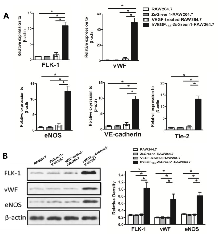 Effect of stable overexpression of VEGF on macrophages in phenotypic characteristics ( A ) Quantitative analysis of mRNA expression of endothelial markers by real-time PCR. mRNA expression of FLK-1, vWF, eNOS, VE-cadherin, and Tie-2 were dramatically increased in hVEGF 165 -ZsGreen1-RAW264.7 cells compared with untransfected RAW264.7, ZsGreen1-RAW264.7, and exogenous VEGF-treated RAW264.7. Data are normalized to β-actin and presented as fold difference relative to RAW267.4 control. ( B ) Western blot analysis of endothelial markers expression. Protein expression of FLK-1, vWF, and eNOS were dramatically increased in hVEGF 165 -ZsGreen1-RAW264.7 cells compared with untransfected RAW264.7, ZsGreen1-RAW264.7, and exogenous VEGF-treated RAW264.7. All images are representatives of three independent experiments each performed in triplicate, and graphs depict the value of mean and S.D . * indicates P