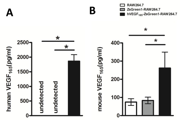VEGF 165 secretion level in supernatant after 72 h serum-free culture by ELISA ( A ) hVEGF 165 production increased dramatically in hVEGF 165 -ZsGreen1-RAW264.7, but could not be detected in untransfected RAW264.7 and control transfected ZsGreen1-RAW264.7 ( P