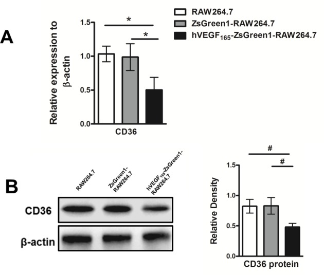 Stable overexpression of VEGF down-regulates expression of CD36 in macrophages ( A ) Quantitative analysis of mRNA expression of CD36 by qRT-PCR. After treating with 100 μg/ml ox-LDL for 24 h, mRNA expression of CD36 were significantly decreased in hVEGF 165 -ZsGreen1-RAW264.7 cells compared with that in RAW264.7 and ZsGreen1-RAW264.7. ( B ) Western blot analysis for endothelial cell markers expression. Protein expression of CD36 was significantly decreased in hVEGF 165 -ZsGreen1-RAW264.7 cells compared with RAW264.7 and ZsGreen1-RAW264.7. Data represent mean ± S.D. of three independent experiments each performed in triplicate. # indicates P