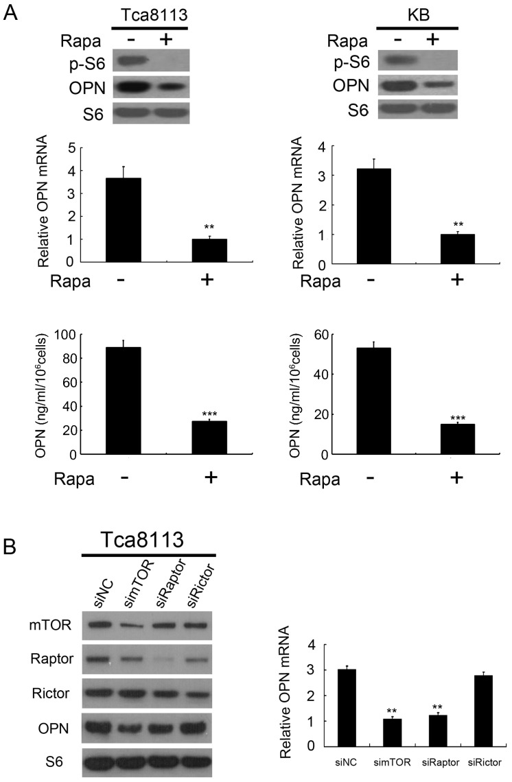mTORC1 positively regulates OPN expression. (A) Tca8113 and KB cells were treated with or without 50 nM rapamycin (Rapa) for 24 h. Expression levels of OPN, <t>p-S6</t> and S6 were detected by western blot analysis (top). The mRNA levels of OPN were analyzed by qRT-PCR (middle). OPN levels in the cell supernatants were detected by an ELISA (bottom). Data indicate mean ± SD of triplicate samples. ** P