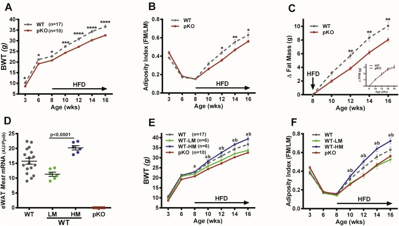 Dietary obesity in mice with inactivated Mest . (A) Longitudinal measurement of bodyweight (BWT) in 17 wildtype (WT) mice and 10 mice with inactivation of Mest on the paternal allele (pKO). Mice were fed high fat diet (HFD) from 8 to 16 weeks of age as indicated by the arrow along the X-axis. (B) Longitudinal measurements show the ratio of fat mass (FM) and lean mass (LM) measured by NMR, indicated as adiposity index (FM/LM), in 17 WT and 10 pKO mice fed a HFD from 8 to 16 weeks as shown by the arrow along the X-axis. (C) Data shows the cumulative change of fat mass (Δ Fat Mass) and fat-free mass (Δ FFM; inset graph) of 17 WT and 10 Mest pKO (pKO) mice after initiation of a HFD at 8 weeks of age until 16 weeks of age as indicated on the X-axis. (D) Data represents tertiles of mice from the 17 WT mice in the study with the lowest (WT-LM; n = 6) and highest (WT-HM; n = 6) epididymal white adipose tissue (eWAT) Mest expression. Gene expression was measured by TaqMan QRT-PCR and is represented as arbitrary units (AU) normalized to cyclophilin b ( Ppib ). (E) Longitudinal analyses of BWT and (F) adiposity index in mice within WT-LM and WT-HM tertiles for eWAT Mest and pKO mice are shown. Data in all figures are presented as the mean ± SEM. Significance at each time point of the longitudinal phenotypic analyses between WT and pKO (A- C) was determined by 2-way ANOVA using the Holm-Sidak multiple comparisons test. Time points annotated with 1, 2, 3 or 4 asterisks indicate significant differences of P≤0.05, P≤0.01, P≤0.001 and P≤0.0001 respectively. Significance in eWAT Mest RNA expression between the WT-LM and WT-HM groups (D) was measured by a two-tailed unpaired parametric t-test and is indicated on the bar graph. Longitudinal data for WT-LM, WT-HM and pKO (E and F) was performed using 2-way ANOVA using Tukey's multiple comparisons test. Annotation with 'a' and 'b' indicates significant differences between WT-HM vs pKO and WT-HM vs WT-LM mice respectively.