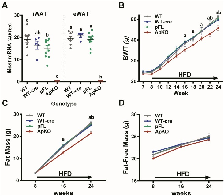 Dietary obesity in mice with Adipoq -cre mediated inactivation of Mest . (A) Mest mRNA expression in inguinal (iWAT) and epididymal (eWAT) white adipose tissue of wildtype (WT; n = 9), WT. Adipoq -cre (WT-cre; n = 5), paternal floxed Mest (pFL; n = 11) and pFL. Adipoq -cre (ApKO; n = 17) mice after being fed a HFD from 8–24 weeks of age. Mest mRNA expression measured by TaqMan QRT-PCR is represented as the mean ± SEM of arbitrary units (AU) normalized to TATA-box binding protein ( Tbp ). Significance in Mest RNA expression between groups was determined via one-way ANOVA using Tukey's multiple comparisons test. (B) Data shows the longitudinal measurements of bodyweight (BWT) for WT (n = 9), WT-cre (n = 5), pFL (n = 11) and ApKO (n = 17) mice fed a HFD from 8 to 24 weeks of age as indicated by the arrow along the X-axis. (C) Longitudinal measurements of fat mass (g) and (D) fat-free mass (g) measured by DEXA at the times indicated on the X-axis are shown for WT (n = 9), WT-cre (n = 5), pFL (n = 11) and ApKO (n = 17) mice fed a HFD from 8 to 24 weeks of age as indicated by the arrow along the X-axis. (B-D) All data in the longitudinal studies are presented as the mean ± SEM. Significance at each time point of the longitudinal phenotypic analyses was determined by 2-way ANOVA and Tukey's multiple comparisons test. Time points annotated with 'a' and 'b' indicates significant differences between 'ApKO vs pFL' and 'ApKO vs WT'.
