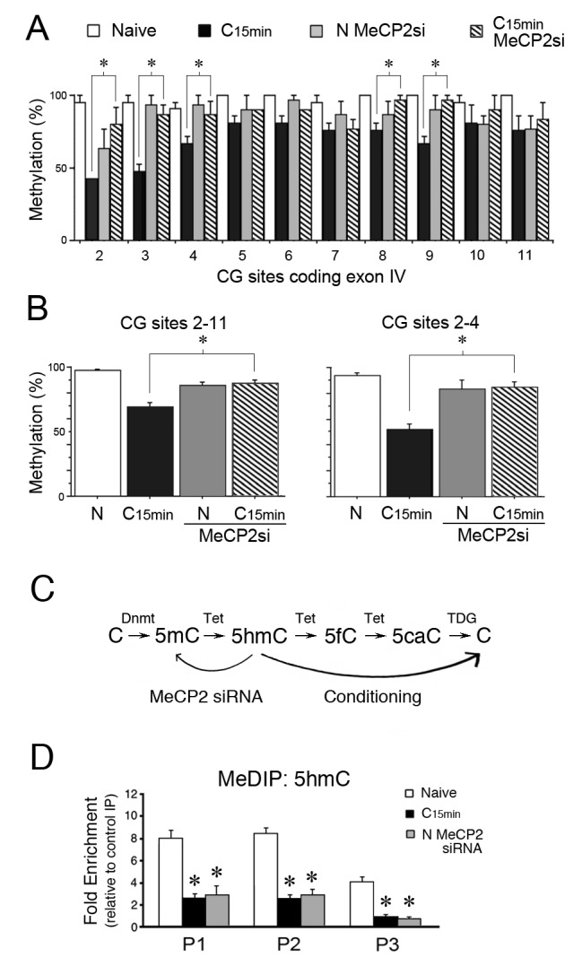 MeCP2 siRNA inhibits demethylation of the tBDNF coding sequence during conditioning. ( A ) BSP analysis of the coding sequence in naïve, conditioned preparations, and those treated with MeCP2 siRNA. Specific CG sites demethylated in normal conditioning show significantly greater levels of methylation after conditioning in MeCP2 siRNA. Data from normal naïve and conditioned are from Figure 2 and are shown here for comparison. MeCP2 siRNA data are from 3 × 10 clones/group. *Significant differences (p=0.01) between the C 15 min MeCP2 siRNA treated group compared to normal C 15 min . ( B ) Grouped data of CG sites 2–11 (left panel) and sites 2–4 (right panel) show significant attenuation of demethylation in conditioned preparations treated with MeCP2 siRNA compared to normal conditioning. ( C ) Schematic illustration of the putative stepwise oxidative demethylation pathway performed by Tet proteins and the thymine DNA glycosylase (TDG) and base excision repair system. Normal conditioning drives the process to the right toward unmethylated C, whereas treatment of naïve or conditioned preparations with MeCP2 siRNA that results in a reduction of Tet1 binding to tBDNF shifts the pathway to the left toward 5mC. 5fC, 5-formylcytosine; 5caC, 5-carboxylcytosine. ( D ) MeDIP assays show high levels of 5hmC content in the tBDNF coding sequence of naïve preparations. These levels are significantly reduced after normal conditioning and in naïve preparations treated with MeCP2 siRNA. DOI: http://dx.doi.org/10.7554/eLife.25384.007