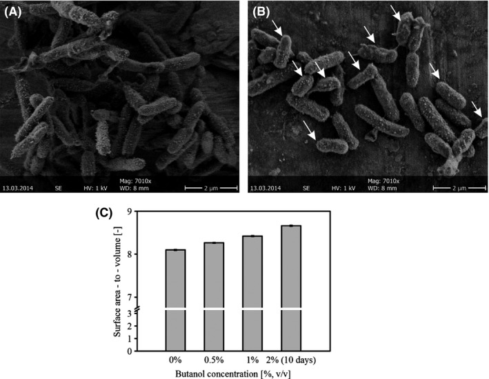 Cell size of P. taiwanensis VLB 120∆C biofilm grown with and without butanol. (A and B) SEM micrographs of the cellular morphology without butanol (A) and with 0.5% butanol (B). Arrows indicate the smaller cells. (C) Surface area‐to‐volume ratio of the cells grown at different butanol concentration for 2 and 10 days. Data presented here are mean value from two different experiments. The size of approximately 100 cells from each culture was measured.