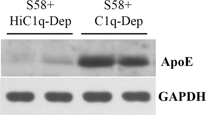 Western blot confirmed that complement activation increases cell-associated ApoE protein determined by LC-MS/MS analysis. RPE cells from a 62-year-old donor with ApoE phenotype E3/E3 and CFH YY402 variant were primed with S58 (1.2 mg/mL) for 30 minutes and then treated with either 6% C1q-Dep or HiC1q-Dep for 6 hours. Total proteins (30 μg) were separated by SDS-PAGE. Lanes 1 and 3 used the same total protein samples as those in experiment 1 in the Table . Lanes 2 and 4 used the same total protein samples as those in experiment 2 in the Table .