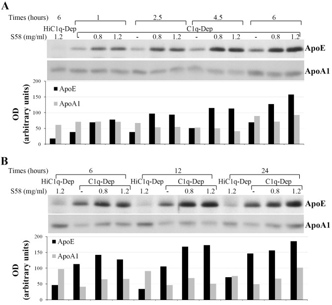 Time-dependent ApoE accumulation in complement-treated cells. RPE cells from a 62-year-old donor with ApoE phenotype E3/E3 and CFH YY402 variant were primed with or without S58 (0.8 or 1.2 mg/mL) for 30 minutes and then treated with either 6% C1q-Dep or HiC1q-Dep (control) for 1 to 6 hours ( A ) and 6 to 24 hours ( B ) Total proteins (15 μg) were separated by SDS-PAGE. The quantity of ApoE protein and ApoA1 protein is shown below each lane .