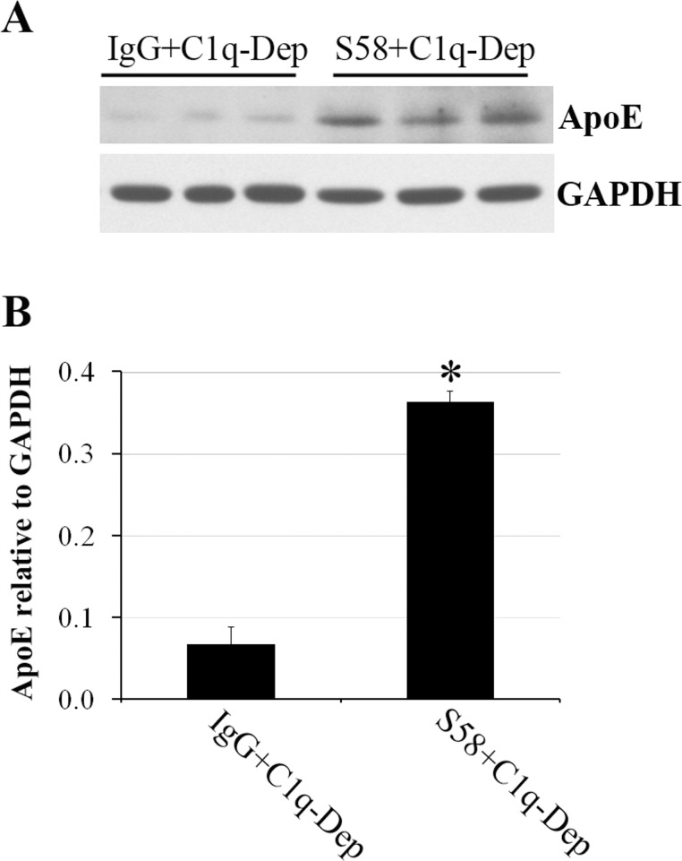Cell suspension model confirmed cell-associated ApoE accumulation. ( A ) Suspended RPE cells from a 51-year-old donor with ApoE phenotype E3/E3 and CFH HH402 variant were incubated with either normal sheep IgG (1.2 mg/mL) or S58 (1.2 mg/mL) for 30 minutes and then treated with 6% C1q-Dep for 4.5 hours at 37°C in a shaking incubator followed by cell lysis and SDS-PAGE analysis of total proteins (30 μg). ( B ) Quantitation of cell-associated ApoE relative to glyceraldehyde 3-phosphate dehydrogenase (GAPDH) shown in ( A ) was determined by densitometry. * P = 0.02 versus sheep IgG+C1q-Dep. Data are representative of two separate experiments in two donors with similar results.