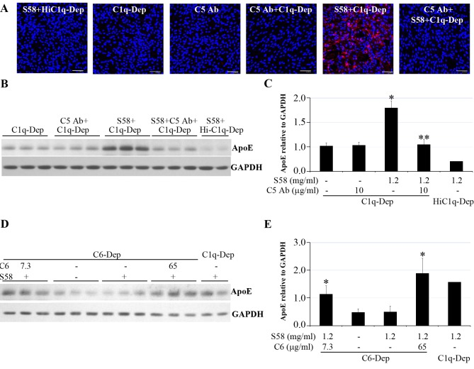 Cell-associated ApoE accumulation was dependent on MAC deposition. RPE cells were primed with or without S58 (1.2 mg/mL) for 30 minutes and then treated with 6% serum for 30 minutes ( A ), 6 hours ( B , C ), or 5 hours ( D , E ). ( A ) Induction of MAC accumulation on RPE cells from a 62-year-old donor with ApoE phenotype E3/E3 and CFH YY402 variant. After serum treatments in the presence or absence of anti-C5 antibody (10 μg/mL), cells were fixed in 4% PFA for 15 minutes and stained with mouse anti-human C5b-9 (aE11) antibody. Data are representative of two separate experiments in two donors with similar results. Red stain indicates MAC deposition. Blue stain corresponds to 4′,6-diamidino-2-phenylindole (DAPI)-stained nuclei. Scale bar : 100 μm. ( B ) Accumulation of ApoE was prevented when C5 was blocked by anti-C5 antibody. Total proteins (15 μg) obtained from RPE cells of a 61-year-old donor with ApoE phenotype E3/E4 and CFH YH402 variant were separated by SDS-PAGE 6 hours post complement challenge in the presence or absence of anti-C5 antibody (10 μg/mL). ( C ) The quantity of ApoE relative to GAPDH shown in ( B ) was determined by densitometry. * P = 0.001 vs. C1q-Dep and C5 Ab+C1q-Dep. ** P = 0.002 vs. S58+C1q-Dep. Data are representative of three separate experiments in three donors with similar results. ( D ) Accumulation of ApoE was blocked by absence of C6. Total proteins (30 μg) obtained from RPE cells of a 51-year-old donor with ApoE phenotype E3/E3 and CFH HH402 variant were separated by SDS-PAGE after treatment with C6-Dep in the presence or absence of C6 protein at 7.3 or 65 μg/mL. ( E ) The quantity of ApoE relative to GAPDH shown in ( D ) was determined by densitometry. * P