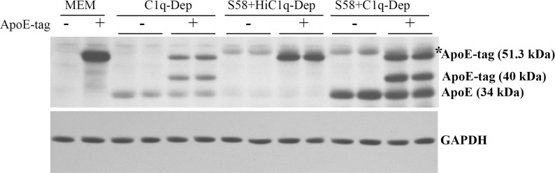 Detection of cleaved recombinant ApoE human protein in serum-treated cells. RPE cells from a 61-year-old donor with ApoE phenotype E3/E4 and CFH YH402 variant were primed with or without S58 (1.2 mg/mL) for 30 minutes and then treated with 6% either C1q-Dep or HiC1q-Dep for 5 hours with or without recombinant ApoE human protein with N-TRX.His tags (4 μg/mL). Total proteins (15 μg) were separated by SDS-PAGE. Data are representative of four separate experiments in two donors with similar results. *S58 IgG heavy chain.
