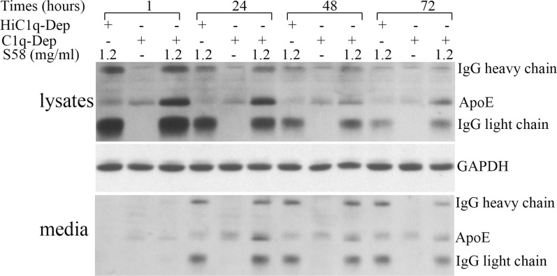 ApoE protein in conditioned media was elevated in response to complement challenge. RPE cells were primed with or without S58 (1.2 mg/mL) for 30 minutes and then treated with either 6% C1q-Dep or 6% HiC1q-Dep for 6 hours. The medium was then exchanged with serum-free medium. After media exchange, cultures were incubated for either 1, 24, 48, or 72 hours and levels of soluble ApoE in the media were determined. Total cellular lysate proteins (15 μg) and concentrated conditioned media (30 μL) were separated by SDS-PAGE. The data are representative of two separate experiments in a 62-year-old donor with ApoE phenotype E3/E3 and CFH YY402 variant with similar results.