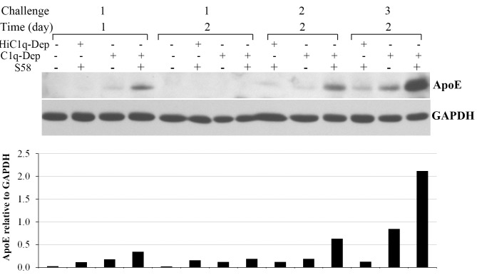 Repetitive complement challenge enhanced cell-associated ApoE accumulation. RPE cells from a 62-year-old donor with ApoE phenotype E3/E3 and CFH YY402 variant were primed with or without S58 (1.2 mg/mL) for 30 minutes and then treated with either 6% C1q-Dep or HiC1q-Dep for 24 or 48 hours. For the second and third complement challenges, cells were washed once, reprimed with or without S58, and then incubated with 6% C1q-Dep or HiC1q-Dep for 48 hours. Repetitive challenge was performed every other day for 1 week (three challenges). Total proteins (15 μg) were separated by SDS-PAGE. The relative quantity of ApoE protein normalized to GAPDH is shown below each lane . Blot images are representative of seven separate experiments in three donors with similar results. The bar graph depicts pooled data from two separate experiments in which cells from a single donor were treated under identical conditions.