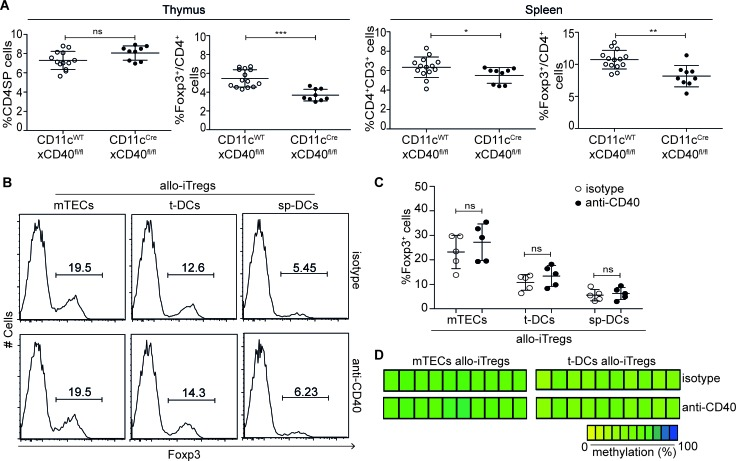 CD40-CD40L signaling is not critically required for generation of stable allo-iTregs A. Thymocytes and splenocytes from CD11c Cre xCD40 fl/fl (DC-specific CD40 knockout, filled circles) and CD11c WT xCD40 fl/fl mice (CD40 competent control, open circles) were analyzed by flow cytometry. Graphs show frequency of CD4SP thymocytes, Foxp3 + cells among CD4SP thymocytes, CD4 + CD3 + splenocytes and Foxp3 + Tregs cells among CD4 + CD3 + splenocytes. Data are summarized from two independent experiments (mean ± SD) and tested for significance using Mann-Whitney test; * p