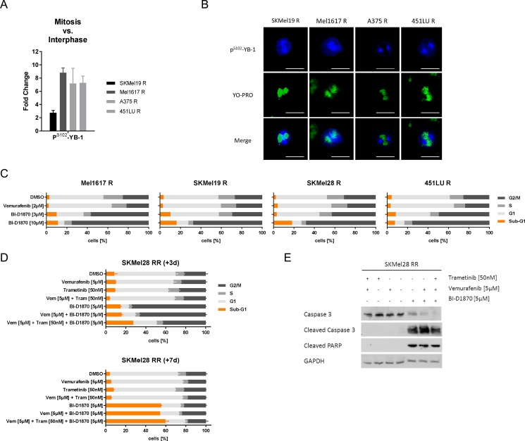 RSK inhibition induces a G2/M arrest and apoptotic cell death in resistant melanoma cells ( A ) Semi-quantification of P S102 -YB-1 fluorescence signal intensities following confocal immunofluorescence analysis in vemurafenib resistant melanoma cells. The signals in mitotic cells were normalized to those of interphase cells ( n = 4). ( B ) Confocal immunofluorescence analysis for P S102 -YB-1 (Cy5-labelled, blue) in mitotic vemurafenib resistant cells. Nuclei were stained with YOPRO-1 (green). Scale bars represent 25 μm. ( C , D ) Flow cytometric cell cycle analysis following treatment with signalling pathway inhibitors. Vemurafenib resistant cells were treated with vemurafenib (2 μM) or BI-D1870 (3 μM, 10 μM) for 3 d (C). SKMel28 RR cells were treated with vemurafenib (5 μM), trametinib (50 nM) and BI-D1870 (5 μM) either alone or in combination for 3 d (top panel) or for 7 d (bottom panel). Two independent experiments were performed and representative data shown (mean ± SD, n = 3) (D). ( E ) Western Blot analysis examining cleavage of the effector caspase 3 and its target PARP in double resistant SKMel28 RR after treatment with signalling pathway inhibitors for 7 d. GAPDH was detected as a loading control.