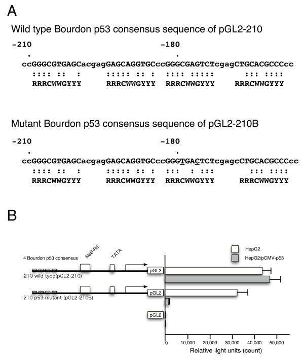 Mutant analysis of IGFBP-3 promoter for the induction by p53 . A, Schematic of four wild type p53 consensus sequence of IGFBP-3 (-159/-209) of <t>pGL2-210</t> and mutant sequence carrying point mutations in the core consensus sequence (-179 C to T, -176 G to C) of pGL2-210B. B, HepG2 cells were transiently transfected with wild type IGFBP-3 promoter-luciferase reporter constructs pGL2-210 or mutant IGFBP-3 promoter-luciferase reporter constructs pGL2-210B with (filled box) or without (open box) co-transfection by pCMV-p53, and luciferase activity was measured after 48 h. Mean count of luciferase activity +/- SEM is shown.