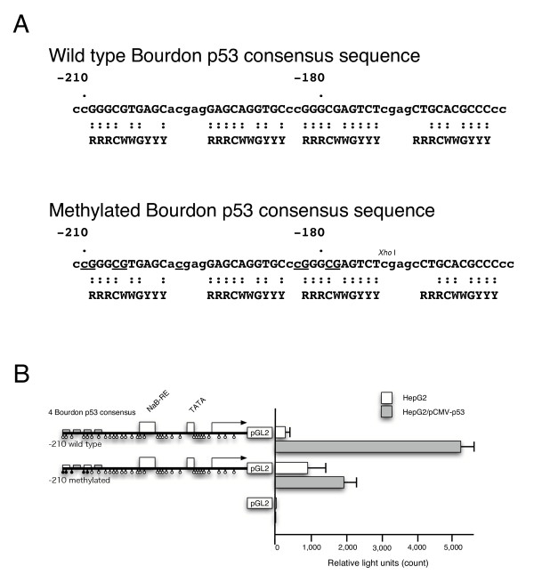 Methylation analysis of IGFBP-3 promoter for induction by p53 . A, Schematic of four wild type p53 consensus sequence of IGFBP-3 (-159/-209) of pGL2-210 and a sequence of the methylated construct carrying the CpG methylation in the core consensus sequence (underlined) of pGL2-210. B, HepG2 cells were transiently transfected with wild type IGFBP-3 promoter-luciferase reporter construct or methylated IGFBP-3 promoter-luciferase reporter construct with (filled box) or without (open box) co-transfection by pCMV-p53, and luciferase activity was measured after 48 h. Mean count of luciferase activity +/- SEM is shown.