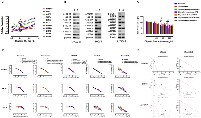 The ErbB family contributes to cisplatin resistance. ( A ) Correlation of expression of HRG1 - α , HRG1 - β , EGFR and HER2 with resistance to cisplatin. EOC cell lines with higher expression of HRG1 - α , HRG1 - β , EGFR and HER2 showed significantly higher cisplatin IC 50 values. The correlation coefficient (r) between the expression of EGFR and HER2 and cisplatin concentrations was 0.917 ( P = 0.0281) and 0.890 ( P = 0.0341), respectively. ( B ) Dacomitinib inhibits ErbB activation. The effect of dacomitinib (5 μM) on ErbB activation was determined by Western blot analysis. Protein lysates were subjected to Western blotting and probed with the indicated antibodies. β-actin was used as the loading control. The blots are representative of three independent experiments with similar results. ( C ) The effects of the ErbB inhibitors on HRGβ-1-induced proliferation in cisplatin-treated Caov4 cells were shown by MTT assay. The cells were pre-treated with the anti-ErbB agents for 4 h, followed by treatment with HRGβ-1 for 48 h. ( D ) The effects of the ErbB inhibitors-cisplatin therapy on cell proliferation were investigated by MTT assay after 48 h of treatment and the data are shown by IC 50 shift analysis. The concentrations of cisplatin were 0.1, 0.5, 1, 2.5, 5 and 10 μg/mL. ( E ) Normalised isobolograms of combination of erlotinib (5 μM) and dacomitinib (5 μM) with cisplatin. The data were analysed using the CalcuSyn software. The connecting line represents additivity. Data points located below the line indicate a synergistic drug-drug interaction and data points above the line indicate an antagonistic interaction. The numbers under the isobolograms indicate the concentrations of the drugs in combination. Data shown represent the mean ± SD from three independent experiments, each performed in triplicate. Statistically significant values of * p