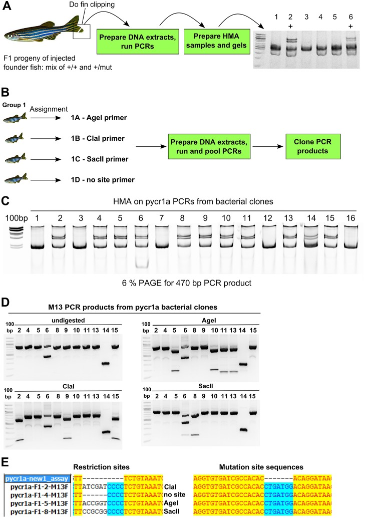 Strategy for F1 mutation carrier screening and identification of their mutations. (A) Screening of F1 mutation carriers. Genotyping, mutation screening and sequencing in this strategy are illustrated by data from screening of pycr1a mutation carriers. F1 mutation carriers are screened by fin clipping, preparing DNA extracts and running PCRs followed by HMA and the sample results of screening six F1 fish are shown (2 and 6 are positive and marked with '+'). (B) Cloning restriction site-tagged PCR products from multiple mutation carriers. Positive mutation carriers are split into groups of four, separated in individual tanks and assigned identifiers (e.g. 1A) and the corresponding forward PCR primers with either Age I, Cla I or Sac II. PCRs with the assigned forward primers and common reverse primer were run on DNA extracts from F1 fish as per assignment, pooled and cloned using a TOPO-cloning procedure. (C) HMA analysis of pycr1a bacterial clones. HMA on colony PCR products from bacterial clones mixed with wild-type PCR products is performed and positive clones are identified. (D) Restriction analysis of M13 PCR products. PCR products from positive bacterial clones amplified with M13 primers were digested with enzymes, for which sites were inserted into forward PCR primers, and clones digestible with each of the enzymes are identified. (E) Sequencing analysis of selected pycr1a clones. The identified pycr1a plasmid clones corresponding to single F1 zebrafish were sequenced and analyzed both at the restriction site position and the mutation site showing complete agreement with previous assays.