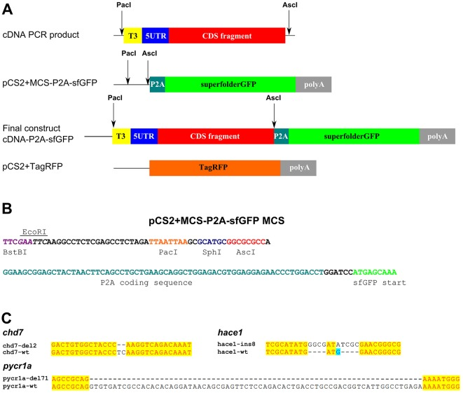 Cloning strategy for producing mutation reporter constructs using <t>pCS2+MCS-P2A-sfGFP</t> vector. (A) Mutation reporter vector structure and cloning strategy. <t>PCR</t> products are amplified from cDNA with the primers designed to introduce the T3 polymerase promoter and Pac I and Asc I sites for cloning and to amplify the 5′ UTR and 200 codons of coding sequence for insertion into pCS2+MCS-P2A-sfGFP vector. (B) The multiple cloning site sequence (MCS) of pCS2+MCS-P2A-sfGFP contains Bst BI, Eco RI, Pac I, Sph I and Asc I restriction sites followed by the P2A sequence and sfGFP coding sequence. (C) Gene mutations in cloned cDNA fragments. Mutations identified at the level of cDNA in chd7 (deletion of 2 nt), hace1 (insertion of 8 nt) and pycr1a (deletion of 71 nt) are shown using alignment of mutant sequences to wild-type ones.