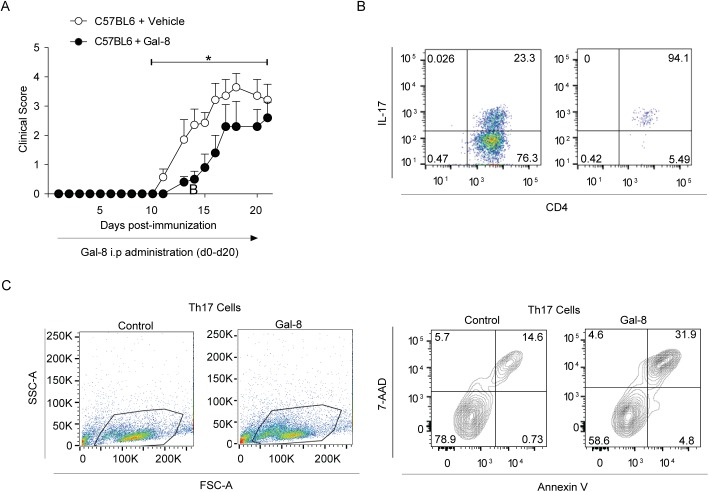 Gal-8 ameliorates EAE and induces Th17 cell death in vitro . (A) Gal-8 treatment ameliorates MOGp-induced EAE in C57BL/6 mice. The mice were injected daily by intraperitoneal injection of either PBS (Control) or Gal-8 100 μg/ml. Gal-8-treated animals tend to start the disease later and show lower EAE scores during the acute and chronic phases of the disease (*p