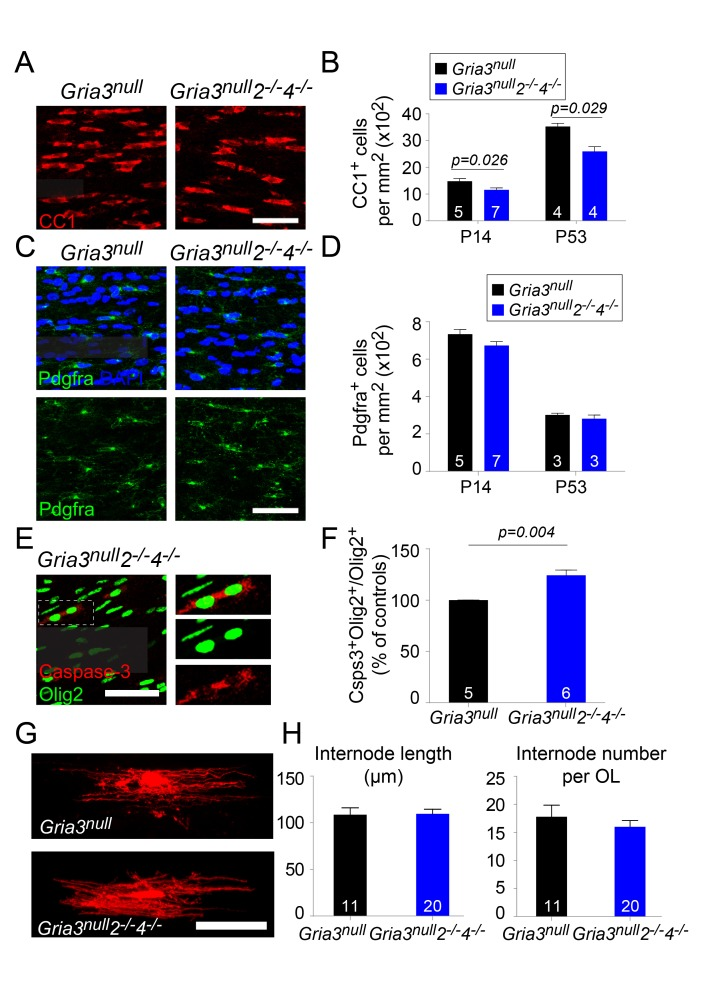 Gria3 null 2 –/– 4 –/– mice generate fewer OLs in the corpus callosum. ( A ) CC1 immunolabelling marks differentiated OLs in Gria3 null and Gria3 null 2 –/– 4 –/– mice. ( B ) The density of CC1 + OLs is significantly less (by ∼22% at P14 and ~26% at P53) in Gria3 null 2 –/– 4 –/– mice relative to Gria3 null controls (p=0.026 at P14, p=0.029 at P53, Mann-Whitney test; > 900 cells were counted per mouse at all ages). ( C ) Pdgfra + OPs in Gria3 null and Gria3 null 2 –/– 4 –/– mice. ( D ) There were no significant differences in the density of Pdgfra + OPs at P14 or P53 in Gria3 null 2 –/– 4 –/– versus Gria3 null mice (p=0.11 at P14; p=0.7 at P53, Mann-Whitney test; > 400 cells were counted per mouse at all ages). ( E ) Cleaved Caspase-3 + , Olig2 + OL lineage cells in Gria3 null 2 –/– 4 –/– mice. Cells in the rectangle (dotted line) are shown on the right at higher magnification. ( F ) There was a ~24% increase in the fraction of Olig2 + cells that expressed cleaved Caspase-3 in Gria3 null 2 –/– 4 –/– compared to Gria3 null mice (p=0.004, Mann-Whitney test; > 1500 Olig2 + cells were counted in each mouse). ( G ) Dye-filled OLs in P14 corpus callosum of Gria3 null and Gria3 null 2 –/– 4 –/– mice. ( H ) There was no change in the length of the internodes (p=0.93, Student's t-test) or the number of internodes per OL (p=0.41, Student's t-test) in Gria3 null 2 –/– 4 –/– compared to Gria3 null mice. Numbers of mice analyzed are indicated in ( B ), ( D ) and ( F ) and numbers of cells in ( H ). Scale bars: 50 μm. DOI: http://dx.doi.org/10.7554/eLife.28080.017