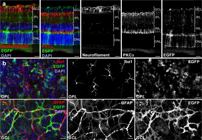 Validation of glia‐specific transgene expression in retinae of dnSNARE mice. Immunohistochemical staining of retinal slices (a) and whole‐mounts (b) demonstrating exclusive EGFP expression as reporter for dnSNARE transgene expression in astrocytes and Müller cells. (a) Micrographs of retinal slices showing EGFP‐positive glial cells, protein kinase Cα (PKCα)‐positive rod bipolar cells and neurofilament‐positive neuronal fibers of the inner retina. Cell nuclei were labeled by DAPI. (b) Micrographs of retinal whole‐mounts showing Iba1‐positive microglial cells and EGFP‐ and GFAP‐positive astrocytes. Note labelling of vessels in the GFAP channel due to unspecific binding of the secondary antibody. GCL = ganglion cell layer; IPL = inner plexiform layer; INL = inner nuclear layer; ONL = outer nuclear layer; OPL = outer plexiform layer. Scale bars, 20 µm [Color figure can be viewed at wileyonlinelibrary.com ]