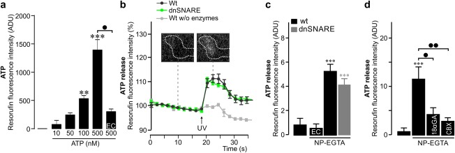 Release of <t>ATP</t> is unaltered in dnSNARE mice. (a) ATP could be detected in a concentration‐dependent manner based on resorufin fluorescence in the modified enzymatic assay as determined by cell‐free measurements on a microplate reader. No or significantly smaller signals were detected in the absence of ATP or ATP‐specific enzymes (EC = enzyme control). Values represent mean ± SEM from 4 independent experiments. (b) Increase in ATP release following UV‐induced photolysis of <t>NP‐EGTA</t> in Müller cells from wildtype (Wt, n = 7 cells) and dnSNARE mice ( n = 7 cells). No ATP signal was observed after the removal of the ATP‐specific enzymes. Insets: micrographs showing resorufin fluorescence above a Müller cell endfoot (demarcated by dashed line) before and after the UV pulse. (c) Calcium‐induced ATP release in Müller cells from wildtype (Wt) and dnSNARE mice. No signal was detected in the absence of NP‐EGTA or ATP‐specific enzymes (EC = enzyme control) ( n = 7–11 cells from 2 animals of each genotype). Compared with measurements in the absence of NP‐EGTA, but with all enzymes included: *** p