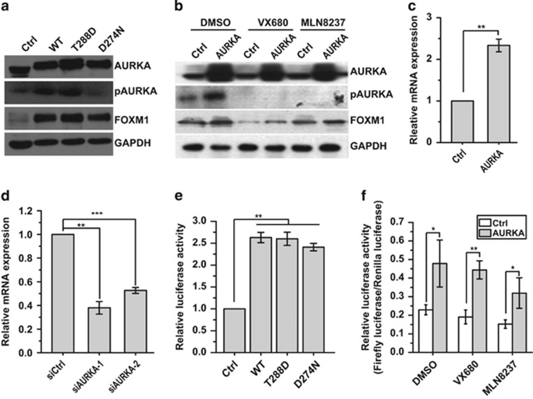 Nucleus AURKA transcriptionally activates FOXM1 expression in a kinase-independent manner. ( a ) Western blot analysis with indicated antibodies in control (Ctrl) and AURKA WT, kinase-activated form (T288D), or kinase-defective form (D274N) overexpressed MCF-7 cells. ( b ) Western blot analysis with indicated antibodies in AURKA overexpressed or control MDA-MB-231 cells treated with DMSO, VX680 and MLN8237. ( c ) Real-time PCR analysis of FOXM1 mRNA expression in AURKA overexpressing MCF-7 cells. ( d ) Real-time PCR analysis of FOXM1 mRNA expression in AURKA knocked down MCF-7 cells. ( e ) Luciferase reporter assay analysis of FOXM1 promoter activity in MCF-7 cells in the absence or presence of WT, kinase-mimicking, and kinase-defective AURKA overexpression. ( f ) Luciferase reporter assay analysis of FOXM1 promoter activity in AURKA overexpressing or control MDA-MB-231 cells treated with DMSO, VX680 and MLN8237. The above reverse transcriptase–quantitative PCR and promoter assays were repeated at least three times independently and results presented as mean±s.d. * P