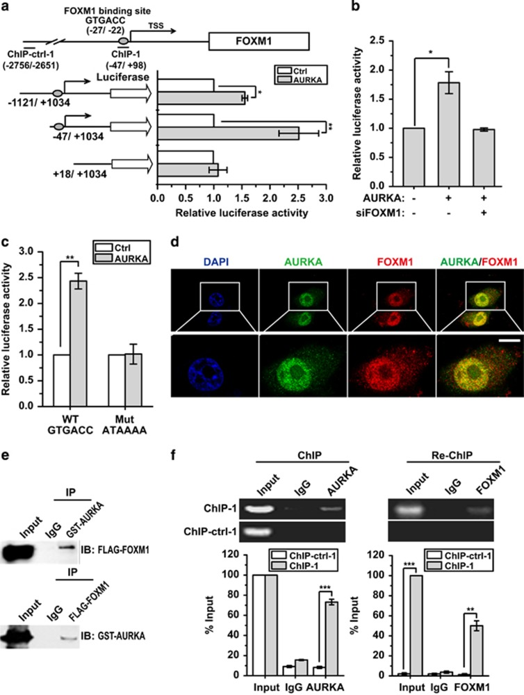 Nuclear AURKA binds directly to FOXM1 to trans activate FOXM1 expression. ( a ) Promoter truncation assay to locate the AURKA regulatory region in FOXM1 promoter. ( b ) Luciferase reporter assay analysis of FOXM1 promoter activity in MCF-7 cells with AURKA overexpression in the presence or absence of FOXM1 knockdown. ( c ) Luciferase reporter assay analysis of FOXM1 promoter activity with WT or mutated FOXM1-binding element (FHRE) in AURKA overexpressed or control MCF-7 cells. ( d ) Immunofluorescence assay to detect intracellular localisation of endogenous AURKA and FOXM1. Scale bar, 10 μm. ( e ) Co-IP assay to detect the interaction of AURKA and FOXM1. ( f ) ChIP Re-ChIP assay to analyse promoter co-occupation by FOXM1 and AURKA. The ChIP Re-ChIP assay was performed using chromatin prepared from MCF-7 cells. The chromatin was first precipitated with the anti-AURKA antibody or the control (IgG) and the precipitated chromatin analysed by reverse transcriptase (RT)–quantitative PCR (qPCR) using primers recognising the FHRE region (ChIP-1) and control primers (ChIP-ctrl-1) (4A) (left panel). The precipitated chromatin was then re-precipitated with the anti-FOXM1 antibody and the product analysed by RT–qPCR (right panel). The above promoter and ChIP RT–qPCR assays were repeated at least three times independently and results presented as mean±s.d. * P